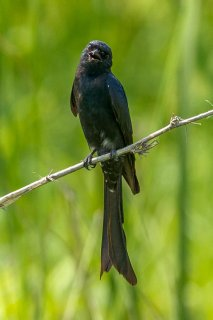 Black Drongo - Dicrurus macrocercus