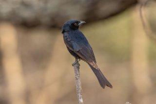 Fork-tailed Drongo - Dicrurus adsimilis