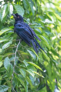 Greater Racket-tailed Drongo - Dicrurus paradiseus