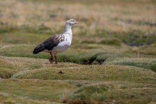 Andean_Goose.jpg