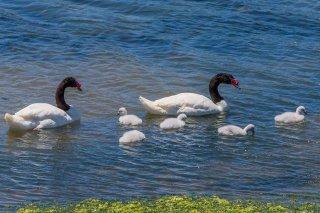 Black-necked_Swan.jpg