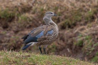 Blue-winged_Goose.jpg