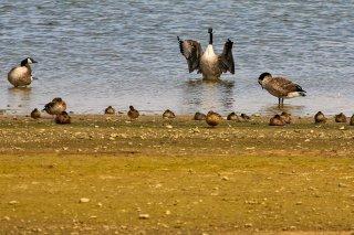 Canada_Goose.jpg