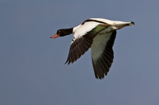Common_Shelduck.jpg