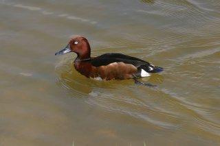 Ferruginous_Duck.jpg