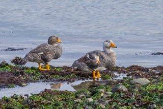 Flightless_Steamer-Duck.jpg