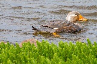 Flying_Steamer_-Duck.jpg