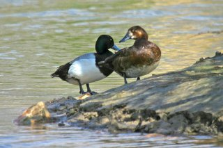 Greater_Scaup.jpg