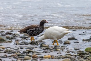 Kelp_Goose.jpg