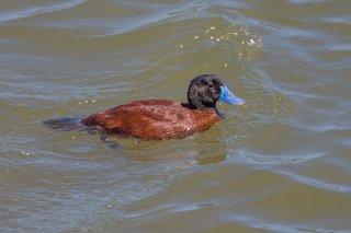 Lake_Duck.jpg