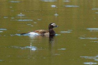 Long-tailed_Duck.jpg