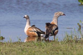 Orinoco_Goose.jpg