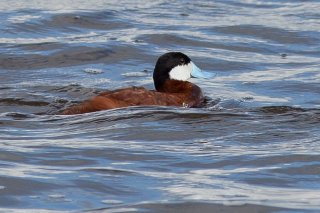Ruddy_Duck.jpg