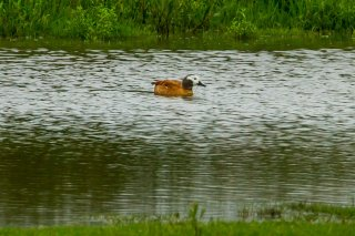 South_African_Shelduck.jpg