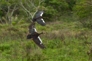Spur-winged_Goose.jpg