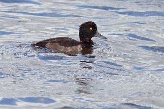 Tufted_Duck.jpg