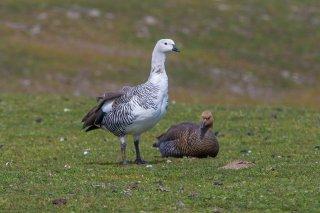 Upland_Goose.jpg