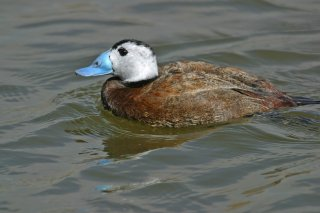 White-headed_Duck.jpg