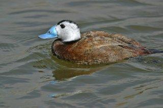 White-headed_Duck.jpg