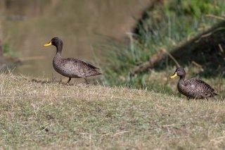 Yellow-billed_Duck.jpg
