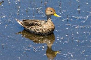 Yellow-billed_Pintail.jpg