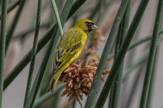 African Citril - Crithagra citrinelloides