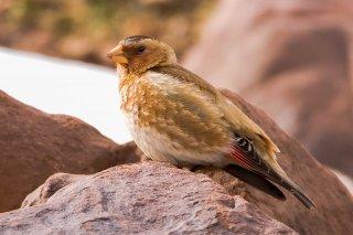 African Crimson-winged Finch - Rhodopechys alienus