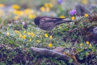 Brandt's Mountain Finch - Leucosticte brandti
