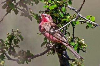 Chinese Beautiful Rosefinch - Carpodacus davidianus