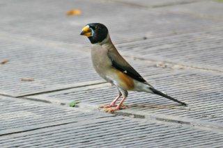 Chinese Grosbeak - Eophona migratoria