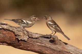 Common Chaffinch (f) - Fringilla coelebs