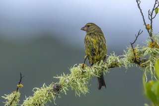 Forest Canary - Crithagra scotops
