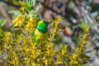 Golden-browed Chlorophonia - Chlorophonia callophrys