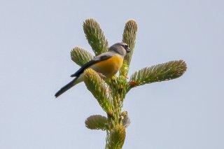 Grey-headed Bullfinch - Pyrrhula erythaca
