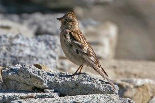 Plain mountain Finch - Leucosticte nemoricola