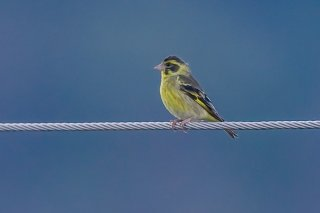 Yellow-breasted Greenfinch - Chloris spinoides