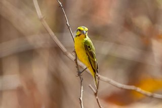 Yellow-fronted Canary - Crithagra mozambica