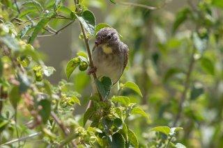 Yellow-throated Seedeater - Crithagra flavigula