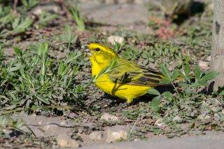 Yellow Canary - Crithagra flaviventris