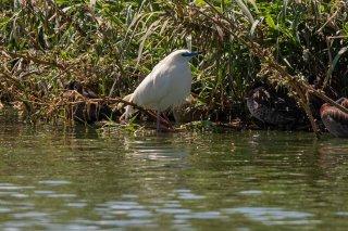 Madagascar_Pond_Heron.jpg