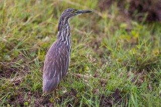 Madagascar_Squacco_Heron.jpg