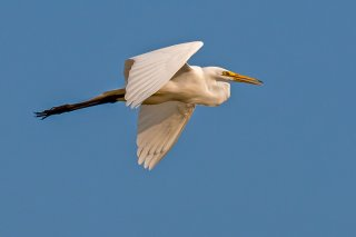 Great_Egret.jpg