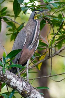 Bare-throated_Tiger-Heron.jpg