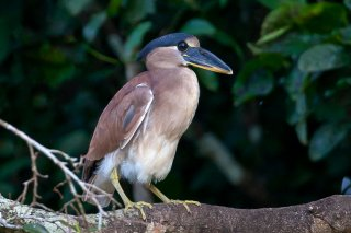 Boat-billed_Heron.jpg