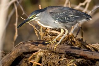 Green-backed_Heron.jpg