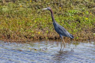 Little_Blue_Heron.jpg