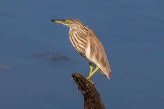 Indian_Pond_Heron.jpg