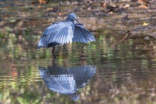 Black_Heron.jpg