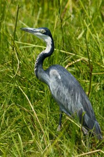 Black-headed_Heron.jpg