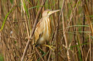 Yellow_Bittern.jpg